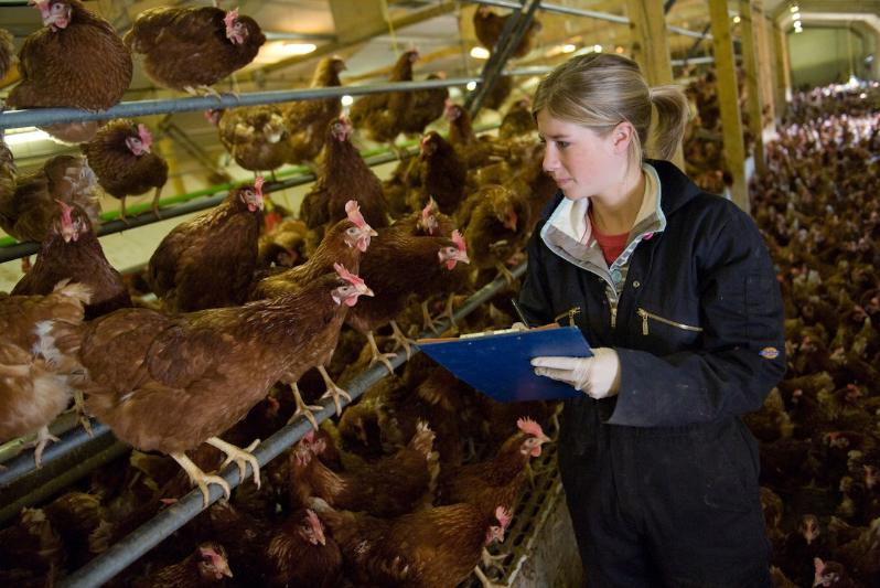 BIOLOGICAL SCIENCES - CHICKEN WORK PLACEMENT 800X533PX