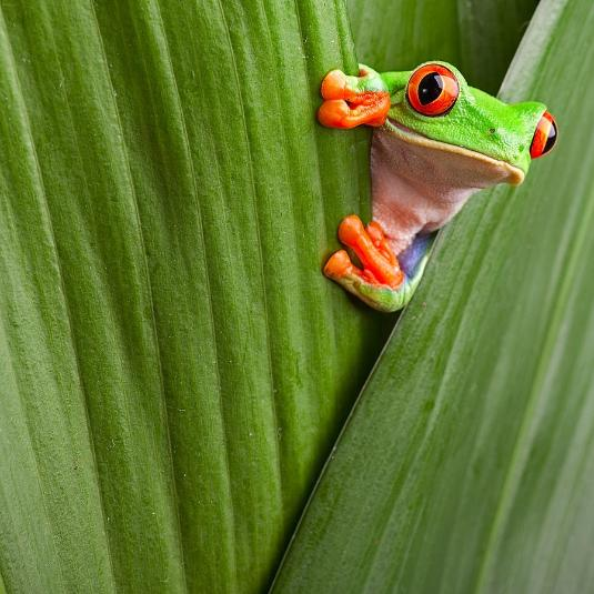 BIOLOGICAL SCIENCES red-eyed-tree-frog ANIMAL BEHAVIOUR AND WELFARE