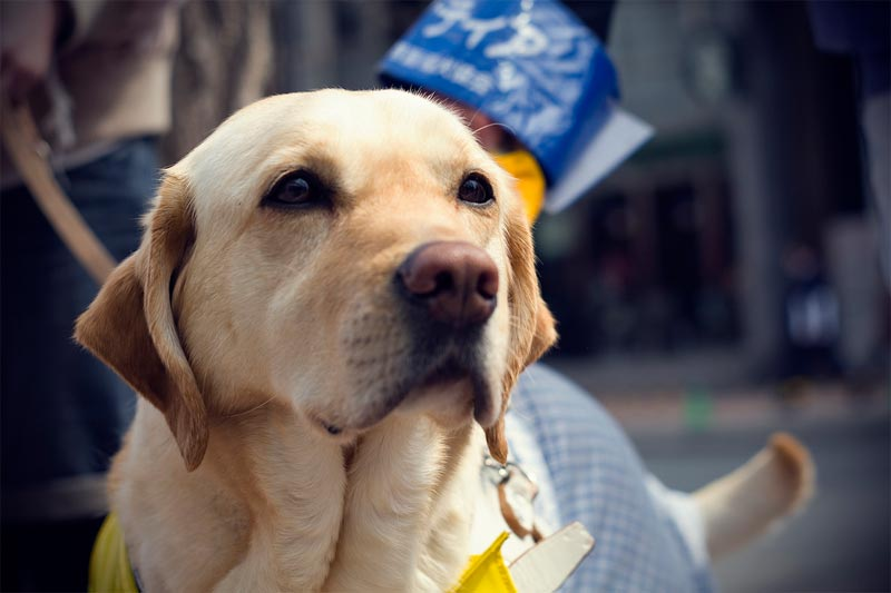 close up of a golden labrador guide dog