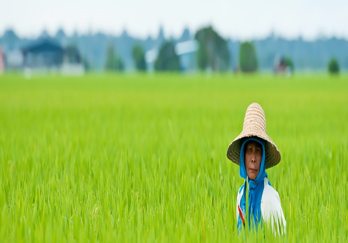 Rice Fields Media Link